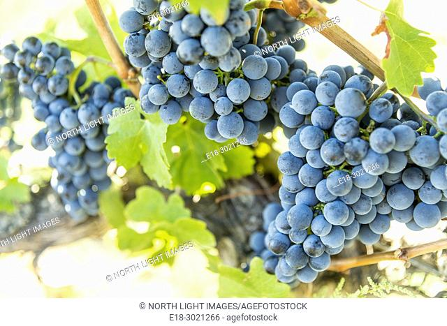 Canada, BC, Oliver. Ripe red grapes ready for harvesting at a vineyard in the Okanagan Valley. British Columbia's most famous wine growing area