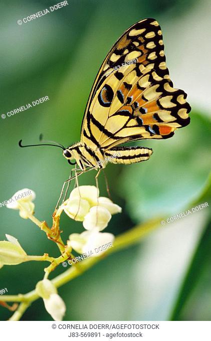 Swallowtail butterfly (papilio demdeus)