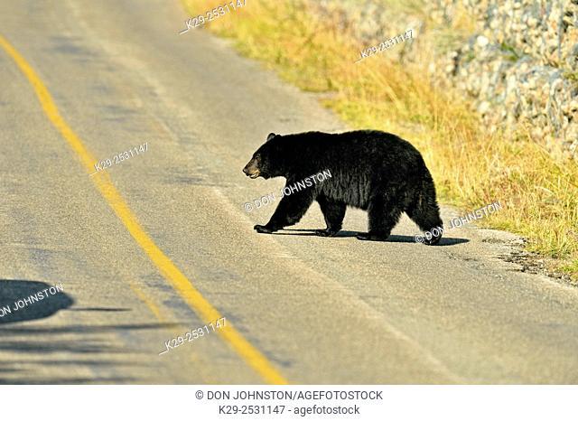 American black bear (Ursus americanus), Waterton Lakes National Park, Alberta, Canada