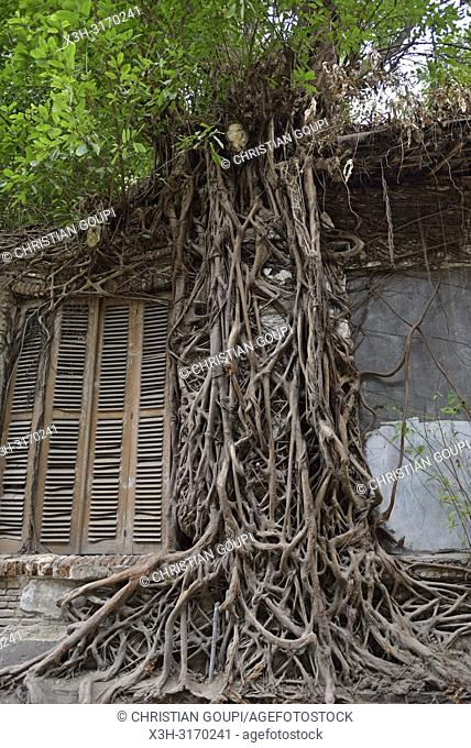 ficus roots growing on a wall of a ruined building, Old Town of Semarang, Java island, Indonesia, Southeast Asia