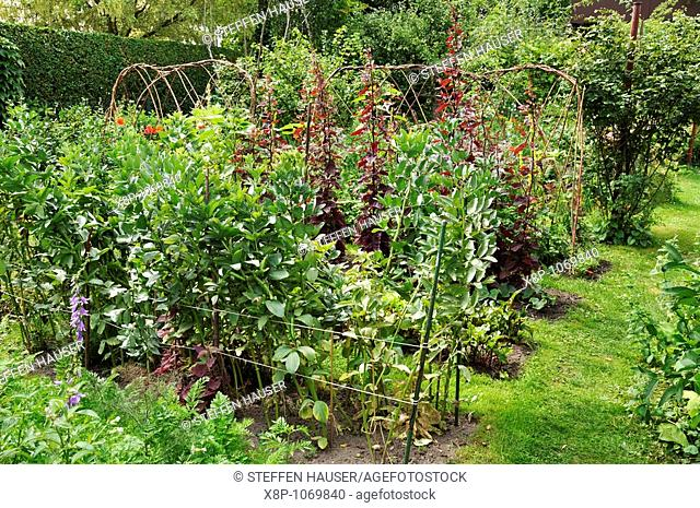 Vegetable garden with broad bean Vicia faba and red orache Atriplex hortensis var  rubra  Design: Susanna Komischke
