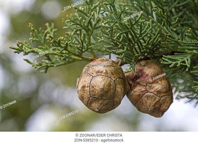 Nahaufnahme von Zypressenzapfen an einer Mittelmeerzypresse