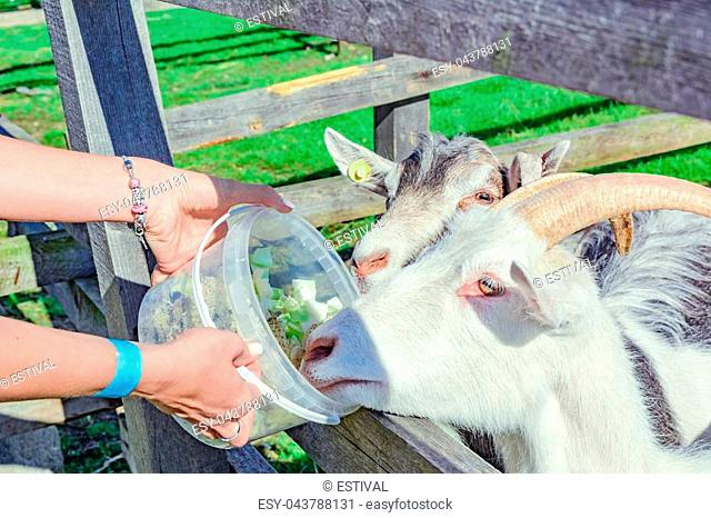Woman feeding two goats through wooden fence