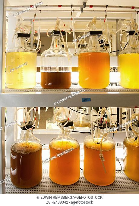 Bottles of algae for feeding oysters in