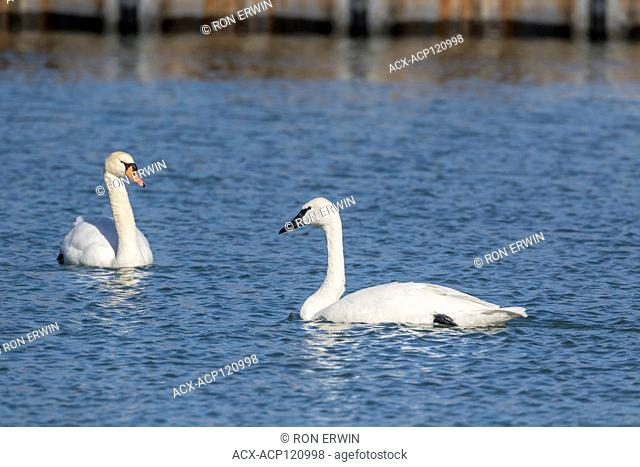 Non-native Mute Swan (Cygnus olor) with orange bill and native Trumpeter Swan (Cygnus buccinator) with black bill on Lake Ontario, Toronto Ontario, Canada
