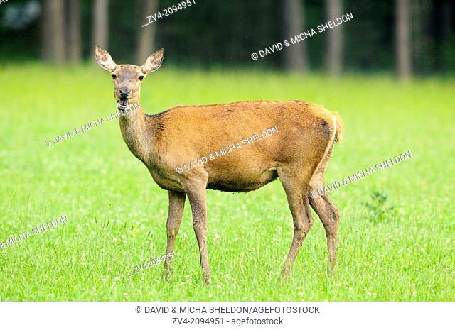 Close-up of a red deer (Cervus elaphus) female standing on a meadow