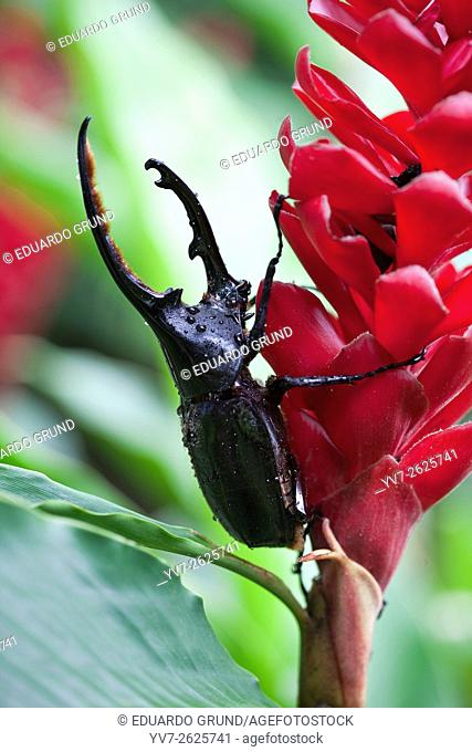 Model of The Hercules beetle (Dynastes hercules) is a Coleóptero Escarabeido, one of the rhinoceros beetles. It lives in tropical forests