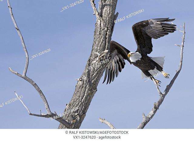 Bald Eagle / Weisskopfseeadler ( Haliaeetus leucocephalus ) on a nice winter day, taking off from a cottonwood tree, Yellowstone, Montana, USA