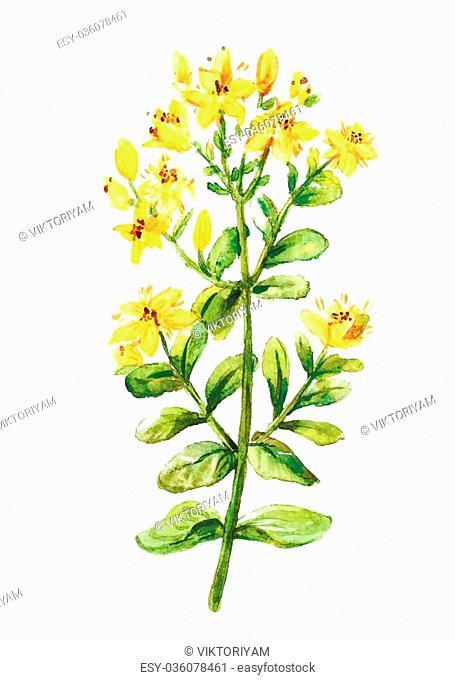 Tutsan watercolor drawing. St. John wort branch. Hand drawn healing herb. Vector colourful illustration of medical plants