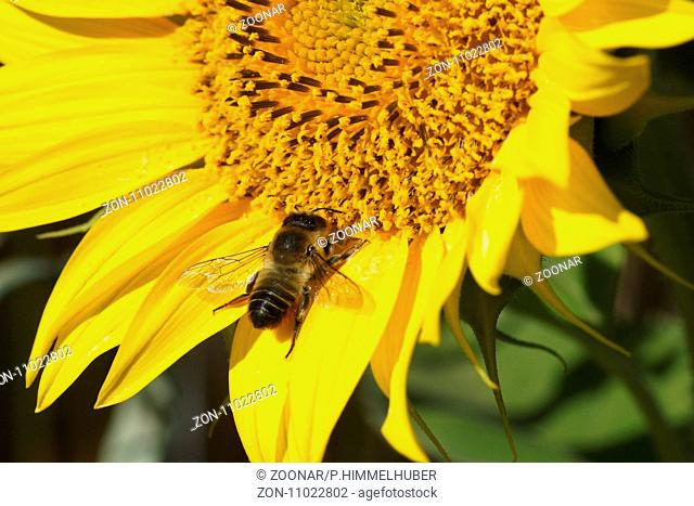 Helianthus annuus, sunflower, bumble bee
