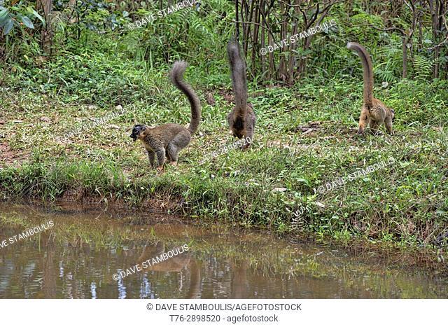 Tails up; common brown lemurs, Andasibe National Park, Madagascar