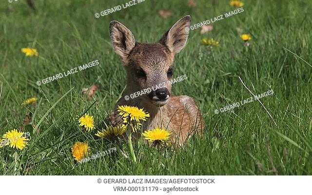 Roe Deer, capreolus capreolus, Fawn Laying in Meadow with Yellow Flowers, Normandy in France, Real Time