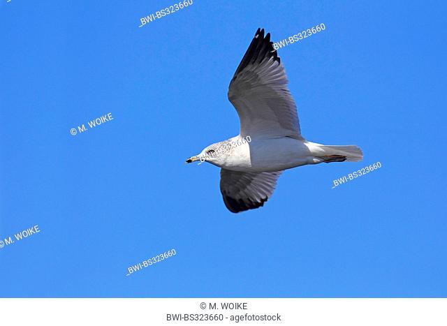 ring-billed gull (Larus delawarensis), flying , USA, Florida, Merritt Island