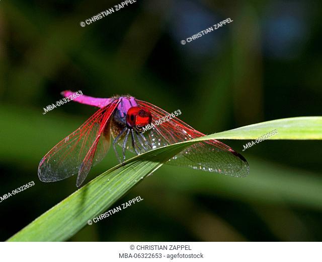crimson marsh glider, Trithemis aurora, Mae Wong National Park, Kamphaeng Phet, Thailand
