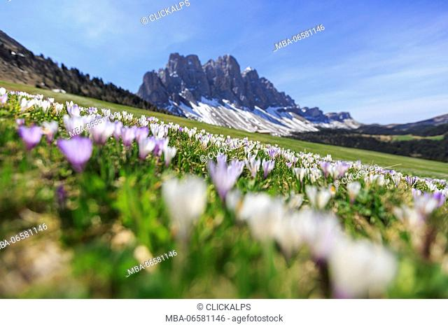 Flowers bloom on the meadows at the foot of the Odle, Malga Gampen Funes Valley, South Tyrol Dolomites Italy Europe