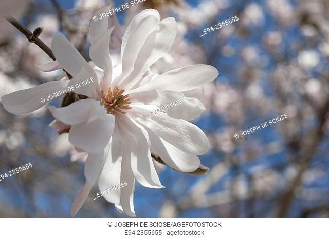 A close up of a Magnolia stellata flower in full bloom