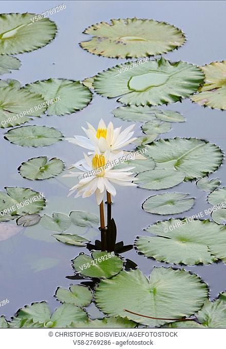 Myanmar, Kayin (Karen) State, Hpa-An; Lotus flowers