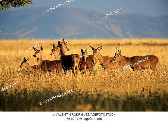 Red Deer (Cervus elaphus). Cabañeros. Spain