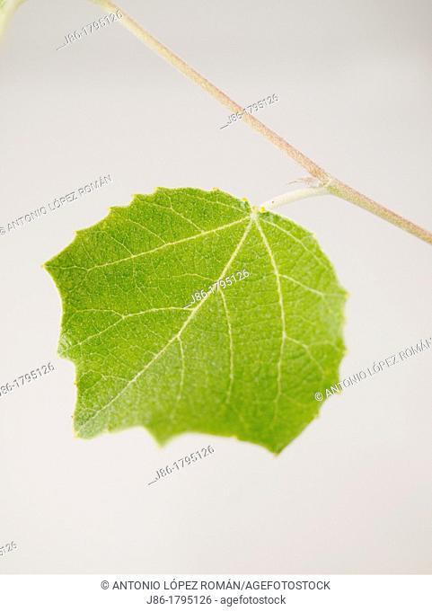 White Poplar leaf Populus alba, upper side