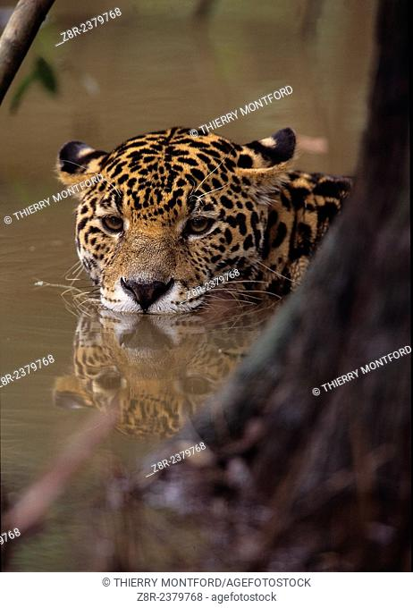 Panthera onca. Jaguar in the water. French Guiana