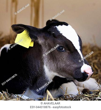 very young black and white calf with large yellow earmarks earlies in straw