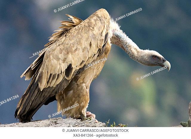 Bearded vulture Gyps fulvus at Ordesa and monte perdido national park, Huesca province, Aragon, Pyrenees, Spain
