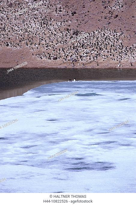 Adelie penguin, Adelie penguin, Pygoscelis adeliae, penguins, colony, coast, sea, Antarctic, Antarctic, Antarctic Ocea