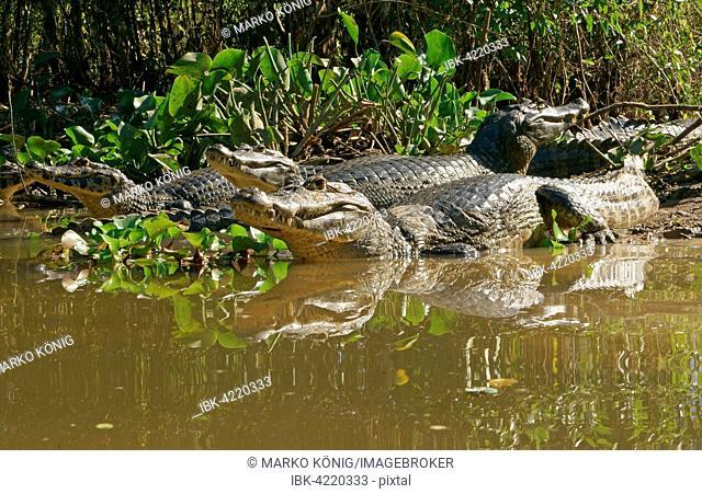 Yacare caimans (Caiman Yacare, Caiman crocodilus yacare), lying on the shore, in the water, Pantanal, Brazil