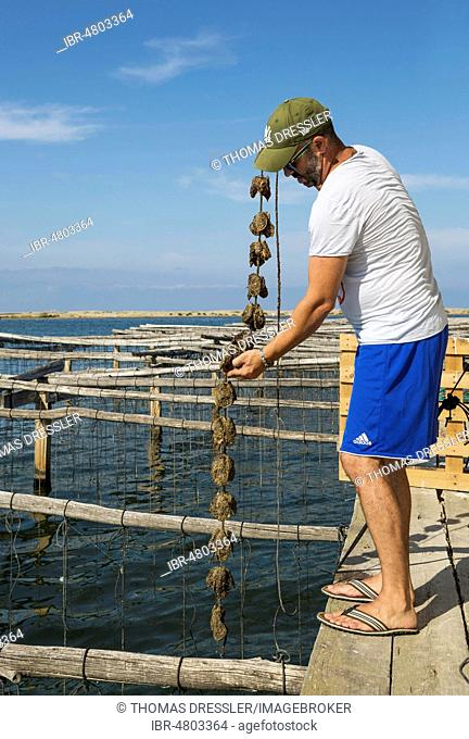Oyster farming in the Bahia del Fangar, environs of the Ebro Delta Nature Reserve, Tarragona province, Catalonia, Spain