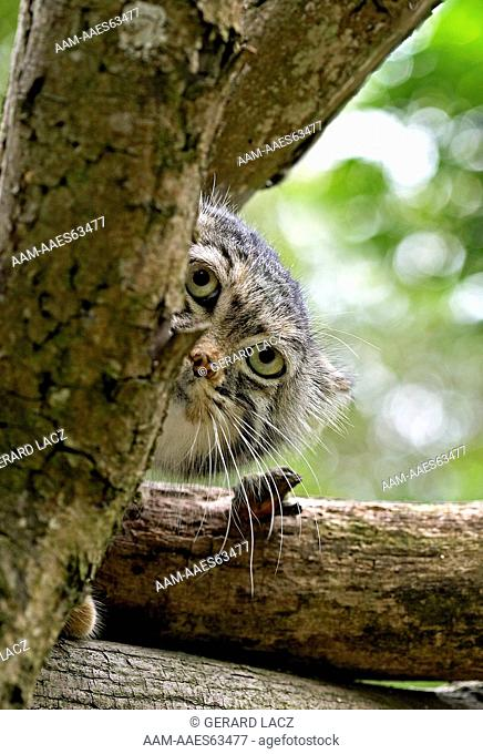 Manul Or Pallas's Cat (Otocolobus Manul) Head Of Adult Emerging From Branches, France