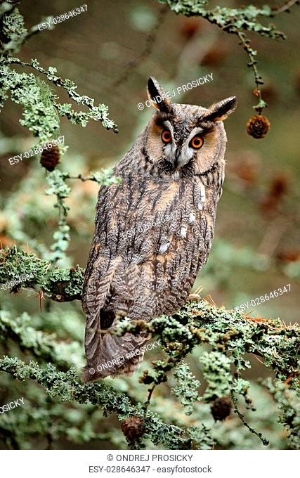 Long-eared Owl sitting on the branch in the fallen larch forest