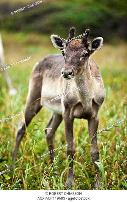 Frontal view of a young caribou in a clearing at the Port au Choix National Historic Site, Port au Choix, Newfoundland, Canada