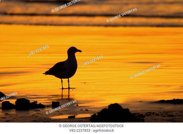 Gull silhouette, Long Beach, Washington