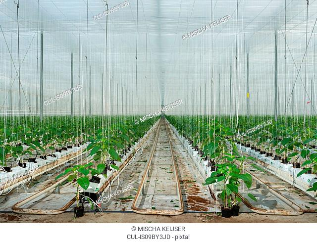Growing bell peppers in modern dutch greenhouse, Zevenbergen, Noord-Brabant, Netherlands