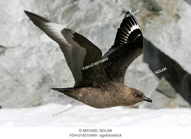 Adult Skua Catharacta spp in flight off Petermann Island near the Antarctic Peninsula. rr
