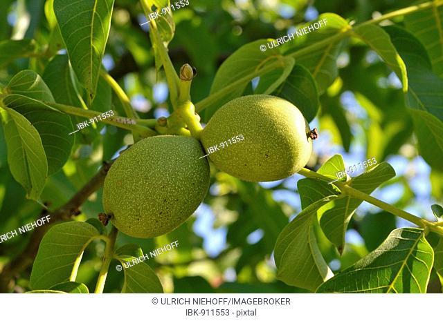 Common Walnut (Juglans regia) fruit on the tree
