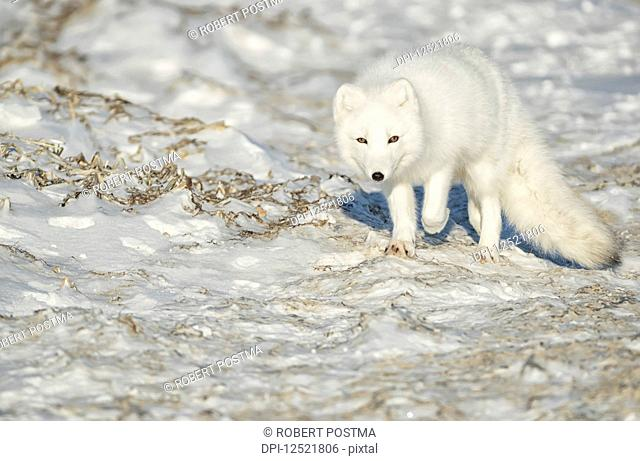 Arctic fox (Vulpes lagopus) walking in the snow; Churchill, Manitoba, Canada
