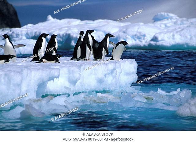 Adelie Penguins on Iceberg Antarctica