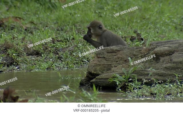 Agile Mangabey sitting on log by stream as other Agile Mangabey carrying baby runs past and jumps stream