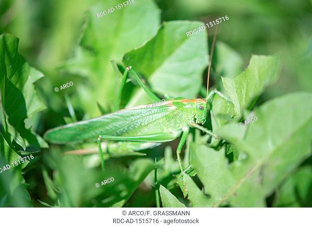 great green bush-cricket, female, North Rhine-Westphalia, Europe, Tettigonia viridissima
