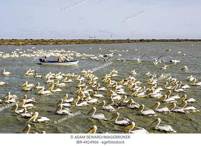 Tourist boat passing by flock of Great White Pelicans (Pelecanus onocrotalus), Djoudj National Park, Senegal