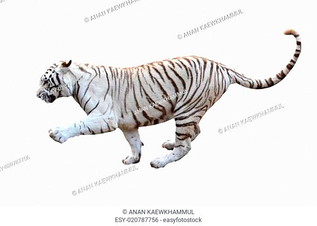 white bengal tiger isolated