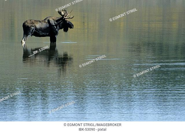 Moose standing in the Snake River, Grand Teton National Park, Wyoming, USA