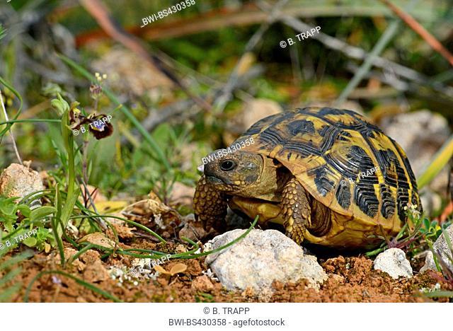Hermann's tortoise, Greek tortoise (Testudo hermanni), next to an orchid, Ophrys speculum, Spain, Balearen, Majorca