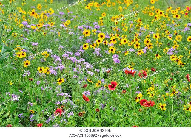 Greenthread (Thelesperma filifolium), Indian blanket/Firewheel (Gaillardia pulchella) and Prairie verbena (Glandularia bipinnatifida), Llano County, Texas, USA
