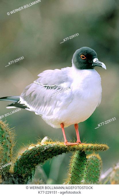 Swallow-tailed Gull (Creagrus furcatus). Genovesa. Galápagos Islands. Ecuador