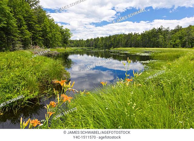 Tiger Lily wildflowers growing at edge of wetlands in the Adirondack Mountains of New York State