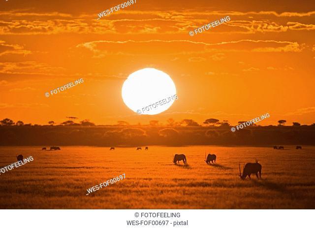 Africa, Botswana, Silhouette of gemsbok herd Oryx gazella at sunset