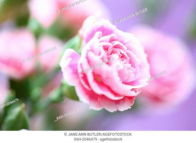 pink carnations, sweet smelling on a purple background