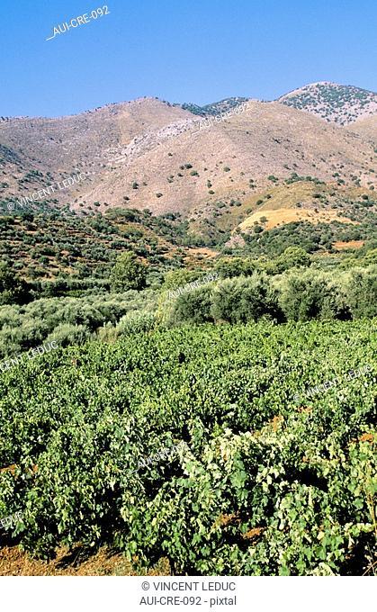 Greece - Crete - Vine - Kouloukonus Region